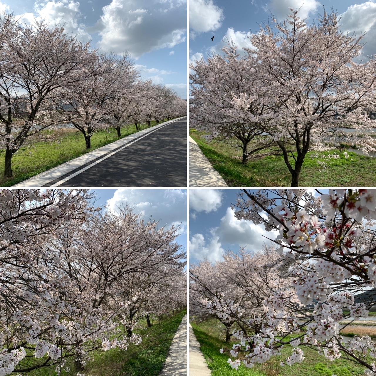 天領久世の桜並木
